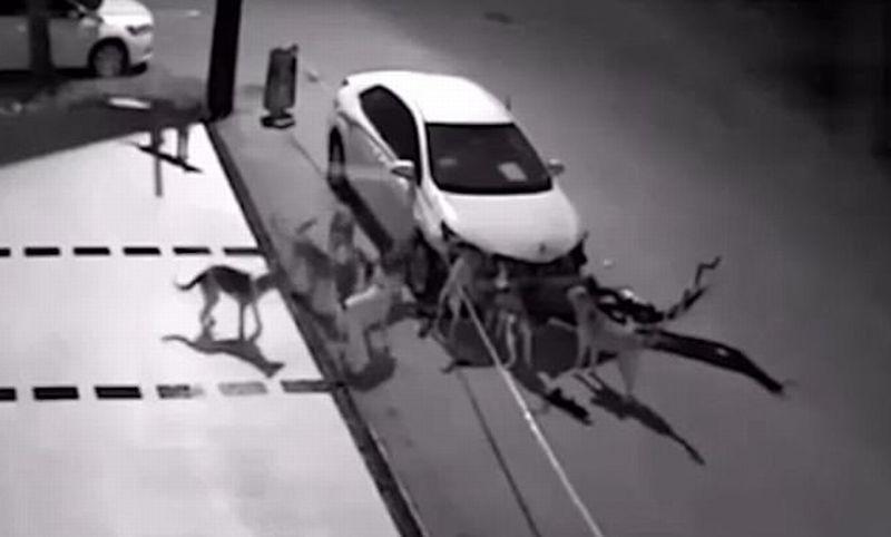 Kawanan anjing preteli bumper, lampu, dan grille mobil (Youtube)