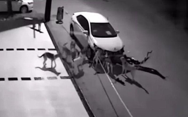 Sekawanan anjing merusak mobil di Turki. (Foto: Daily Mail)