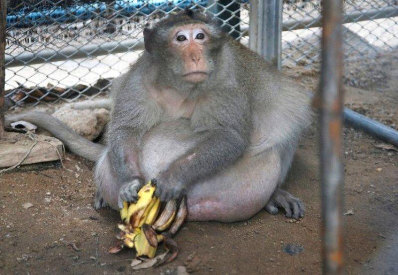 Kegemukan Karena Junk Food, Monyet Ini Dimasukkan Rehabilitasi