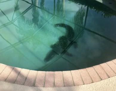 Seekor buaya terlihat berkeliaran di dasar kolam renang di sebuah rumah warga (Foto: Sarasota County Sheriff/Facebook)