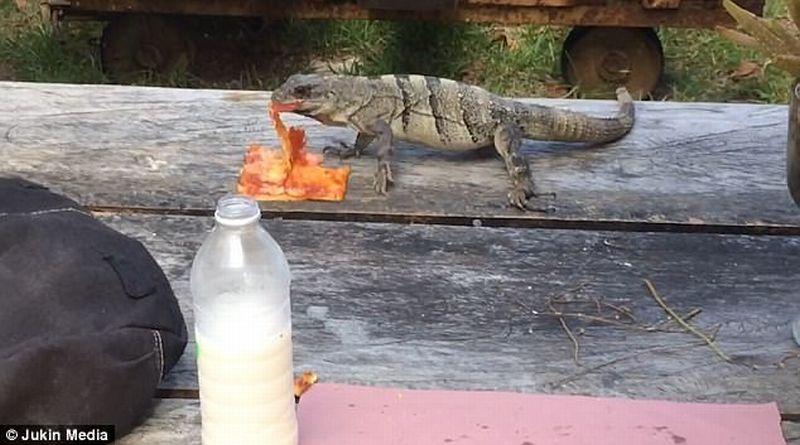 Seekor iguana mencuri pizza. (Foto: Daily Mail)