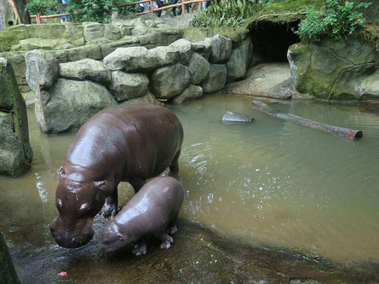Perkenalkan Angle Bayi Kuda Nil Lucu Hasil Perkawinan Vivi Dan Unjani Di Taman Safari Bogor