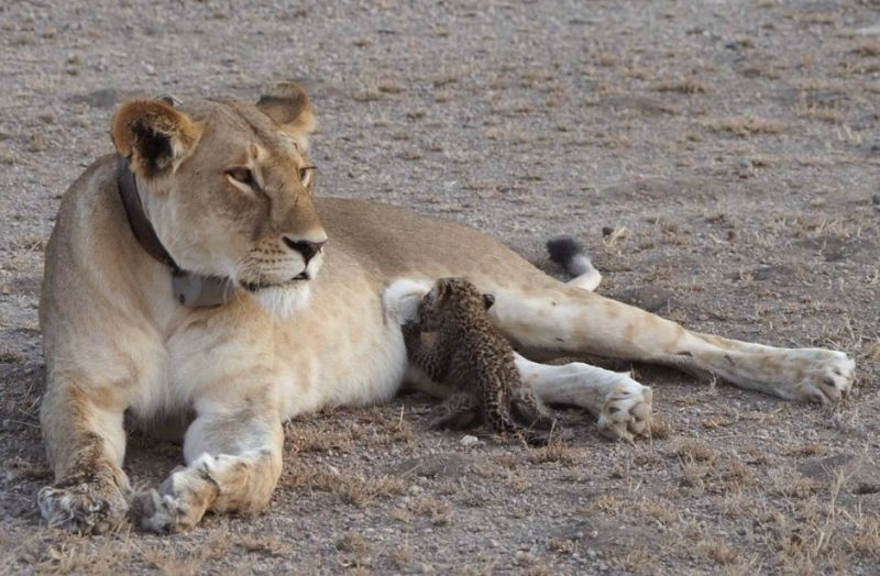 Momen ketika singa betina mengasuh seekor anak macan tutul (Foto: Panthera/Joop Van Der Linde)