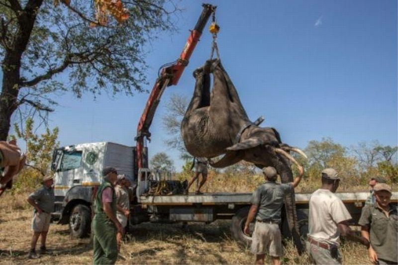 https: img.okezone.com content 2017 08 09 18 1752964 wow-cetak-rekor-bersejarah-malawi-relokasi-520-ekor-gajah-uigFNR0QOf.jpg