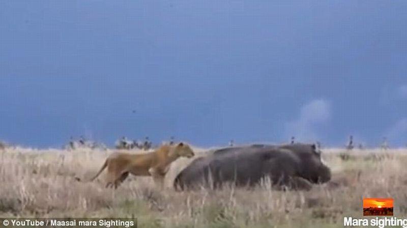Singa dan kudanil di Kenya. (Foto: Daily Mail)
