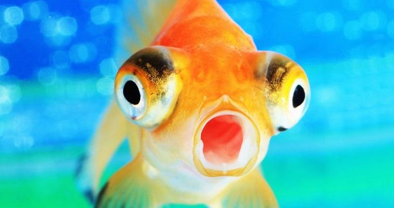 WOW! Alkohol Penyebab Ikan Mas Dapat Bertahan Hidup di Air Beku Bebas Oksigen