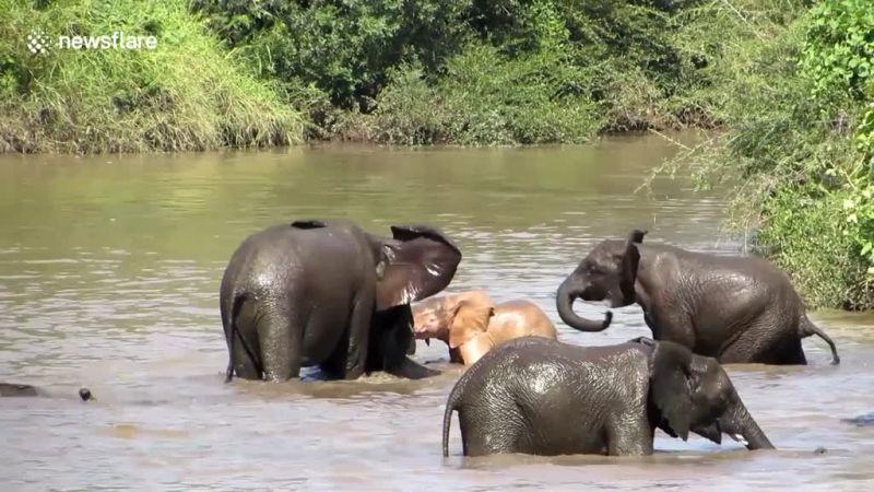 Video Wah Ini Penampakan Gajah Langka Di Afrika Selatan