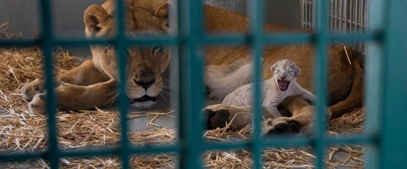 https: img.okezone.com content 2017 08 14 18 1755938 wah-diselamatkan-dari-suriah-singa-ini-melahirkan-bayi-di-yordania-VyrzM0yXG3.jpg