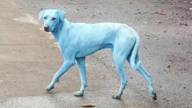 Anjing biru di India. (Foto: The Week)