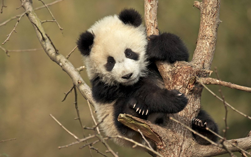 https: img.okezone.com content 2017 09 04 406 1768852 gemas-terjebak-di-pepohonan-bayi-panda-raksasa-ini-malah-tidur-siang-O0SQHj2MzO.jpg