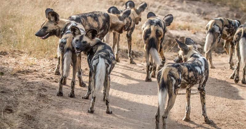 DO YOU KNOW: Unik! Kelompok Anjing Liar Afrika Lakukan Voting dengan Bersin