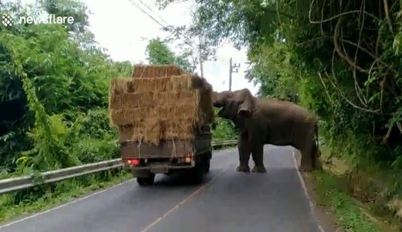 Seekor gajah hentikan laju sebuah truk demi makanan. (Foto: UPI)