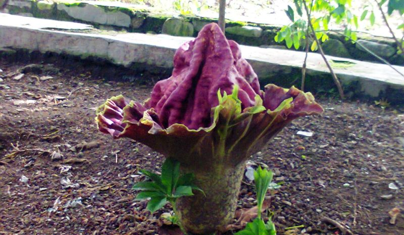 Download 4200 Gambar Bunga Raflesia Dan Bunga Bangkai HD Terbaru