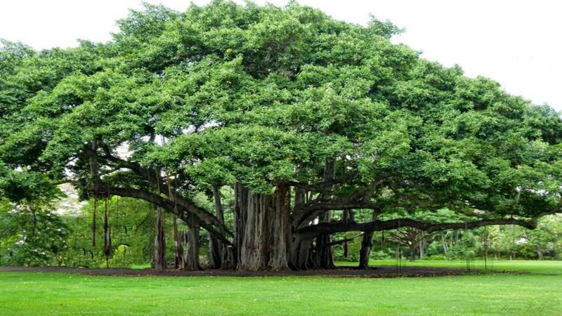 Ilustrasi Pohon Beringin   Sumber: Okezone