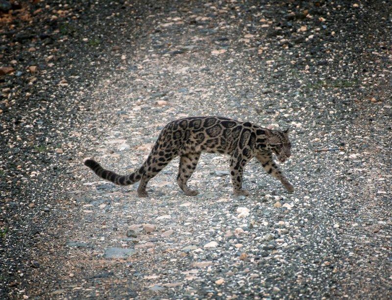 Wah Macan Tutul Sunda Langka Terlihat Di Pulau Kalimantan Okezone News