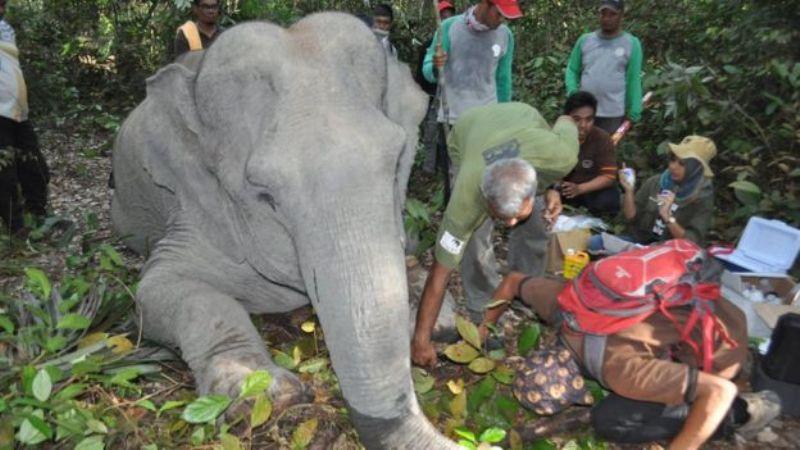 https: img.okezone.com content 2017 11 23 406 1819567 konflik-manusia-dan-gajah-masif-terjadi-di-riau-begini-tim-dokter-selamatkan-gajah-yang-terluka-RPgZj44FGr.jpg