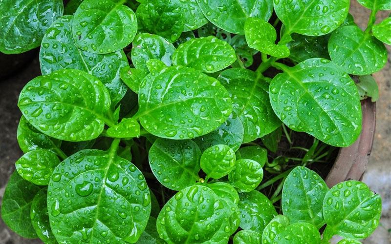 Pegagan, Tanaman Herbal dengan Segudang Manfaat