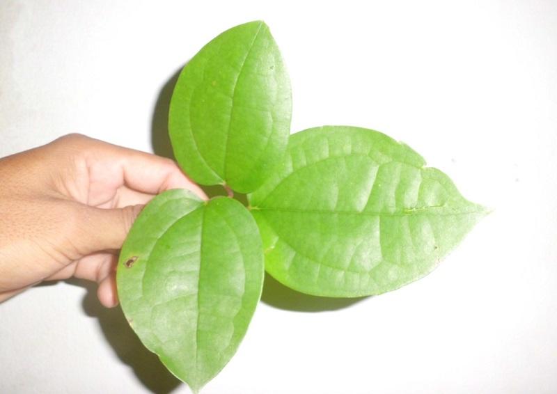 https: img.okezone.com content 2017 11 24 481 1820236 daun-bungkus-asal-papua-tanaman-herbal-yang-berkhasiat-untuk-kejantanan-pria-E9MWMz5Iw6.jpg