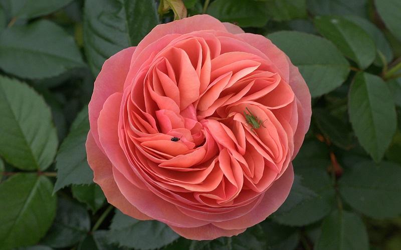 Bunga Lambang Cinta Kenali 5 Jenis Mawar Terindah Di Dunia Okezone Lifestyle