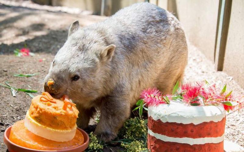 https: img.okezone.com content 2017 12 19 298 1832866 gemas-wombat-tertua-di-australia-ini-rayakan-hut-dengan-cake-spesial-mdLhwuhkPv.jpg