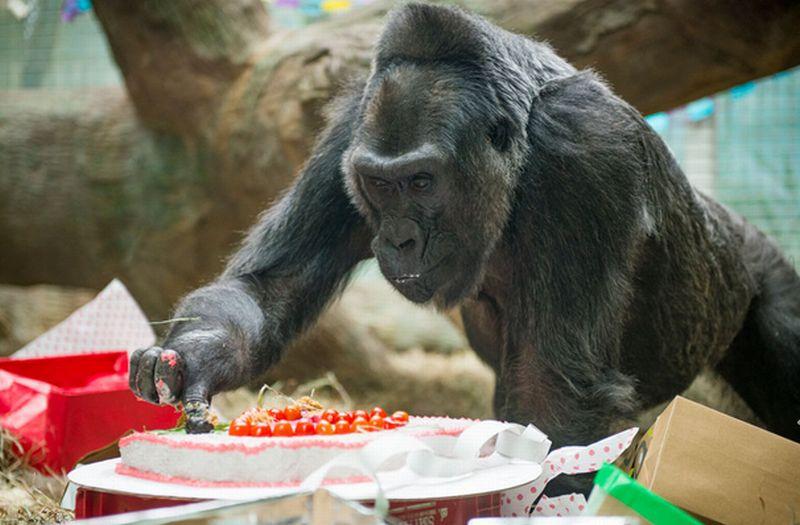 https: img.okezone.com content 2017 12 22 18 1834302 61-tahun-kelahiran-bayi-gorila-pertama-di-kebun-binatang-R5F25iKEl6.jpg