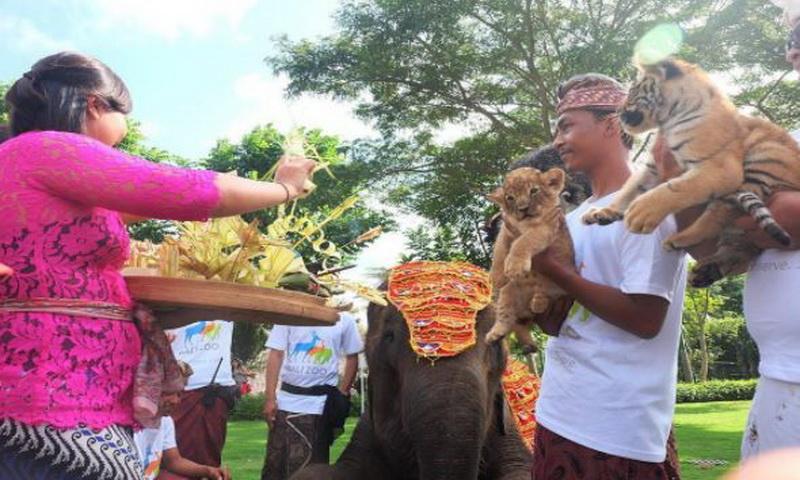 https: img.okezone.com content 2018 01 21 406 1848026 unik-ritual-tumpek-kandang-di-kebun-binatang-bali-zoo-M7wbaPeqcB.JPG