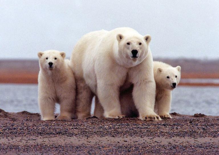 https: img.okezone.com content 2018 02 04 56 1854406 sulit-mencari-mangsa-beruang-kutub-terancam-punah-KaBPYlpCJ8.jpg