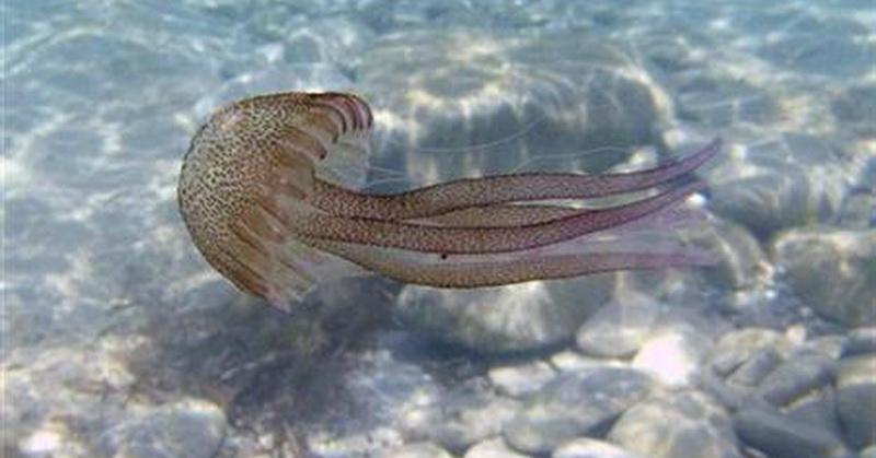 https: img.okezone.com content 2018 02 09 56 1857335 ubur-ubur-penyebab-utama-kematian-ikan-salmon-benarkah-bulhKydM3s.jpg