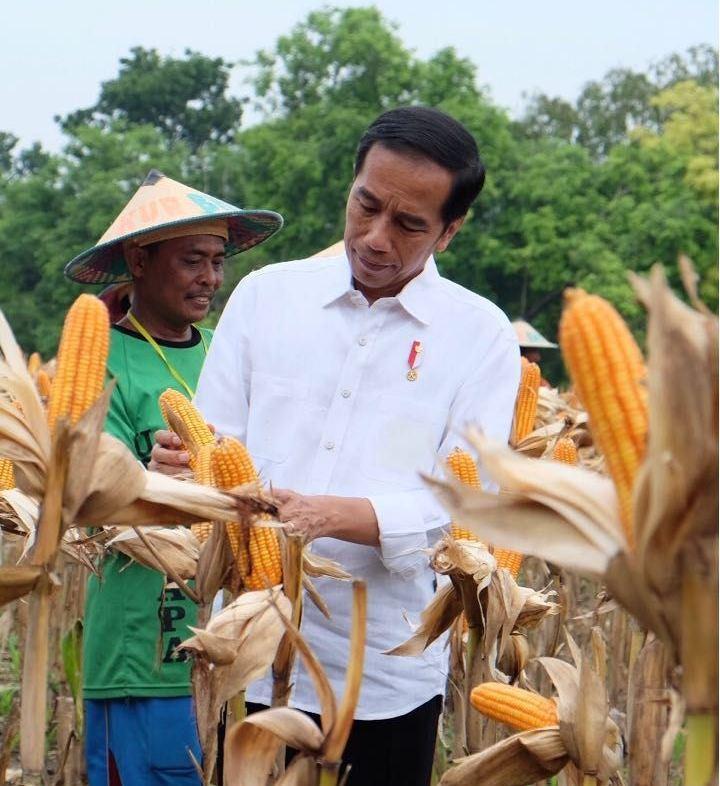 Hari Kedua Kunjungan, Presiden Jokowi Panen Jagung Di