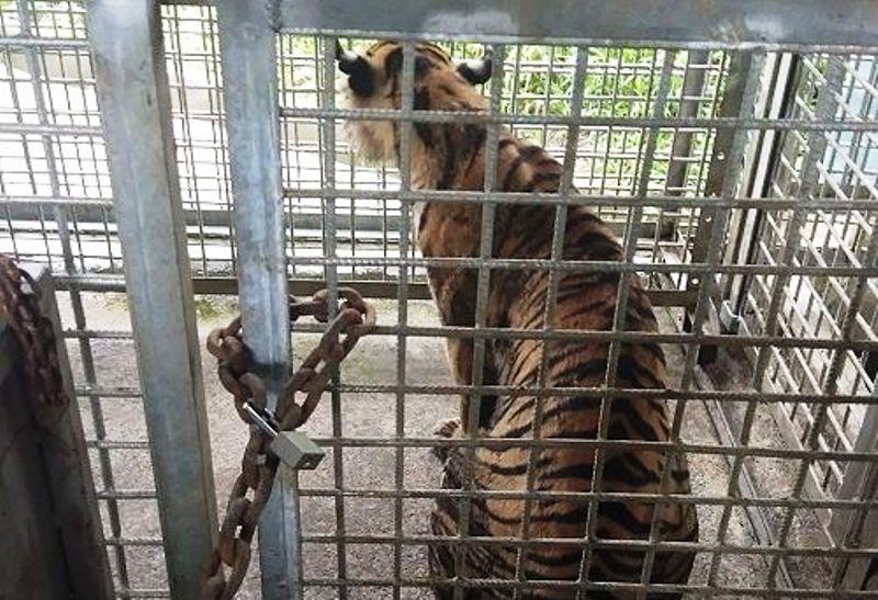 https: img.okezone.com content 2018 04 22 340 1889983 tak-seperti-harimau-umumnya-bonita-tetap-selow-usai-ditangkap-2nFJjwxuDG.jpg
