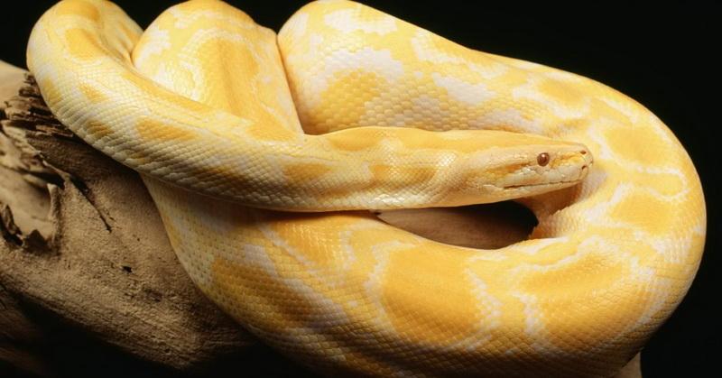 https: img.okezone.com content 2018 05 30 56 1904561 viral-video-ular-boa-melahirkan-ditonton-16-juta-kali-fcsGyNxWLP.jpg