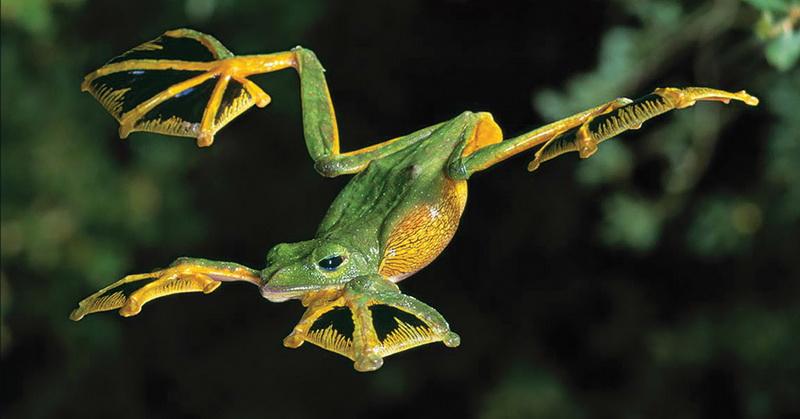 https: img.okezone.com content 2018 06 23 56 1913167 saat-terancam-katak-ini-mampu-terbang-setinggi-50-kaki-RgY7MJDfa3.jpg