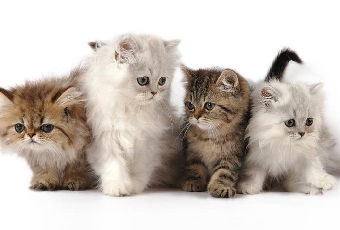 5 Jenis Kucing Ini Cocok Dipelihara Anda Yang Sering Merasa Kesepian Okezone Lifestyle