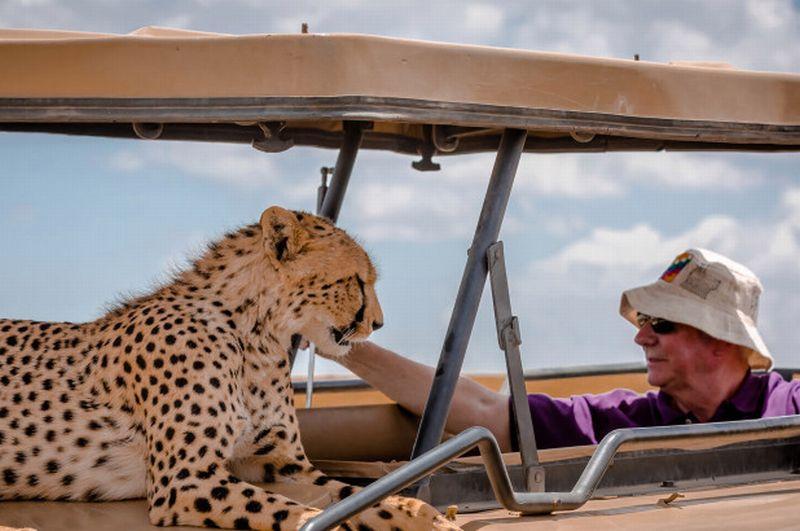 https: img.okezone.com content 2018 07 03 406 1916947 unik-cheetah-ini-malah-naik-ke-atas-jeep-saat-dikunjungi-wisatawan-Eq4CdLLQif.jpg