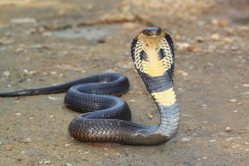 api, kalau memang dalam kondisi bahaya, mereka akan menyerang sangat brutal, terlebih saat malam hari.  Image result for ular welang shutterstock, okezone