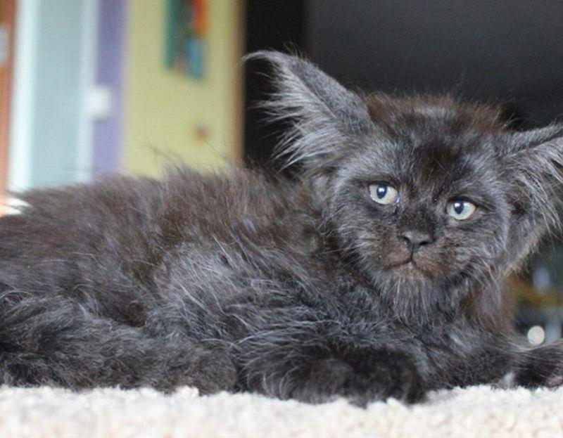 Kucing Ini Punya Wajah Mirip Manusia, Asli atau Photoshop ...