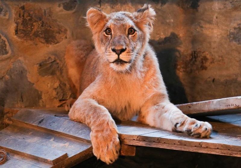 https: img.okezone.com content 2018 07 17 406 1923405 kafe-di-turki-biarkan-singa-muda-berkeliaran-temani-pengunjung-berani-datang-6LoZ2wQpHB.jpg