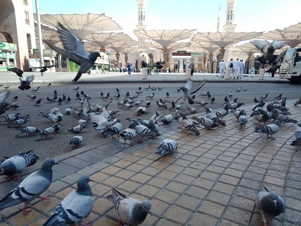 Ribuan Burung Merpati Di Pelataran Masjid Nabawi Pun Sambut Tamu