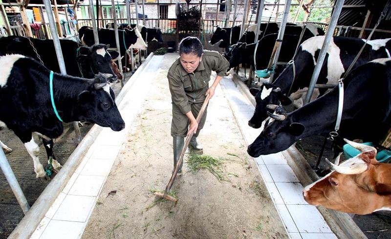 Peran Peternak Sapi Perah Untuk Penuhi Kebutuhan Susu Di Indonesia Okezone Lifestyle