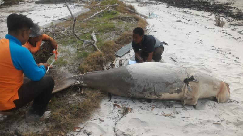 https: img.okezone.com content 2018 09 07 340 1947582 dugong-ikan-duyung-ditemukan-mati-di-perairan-riau-e4LmJNpNjB.jpg