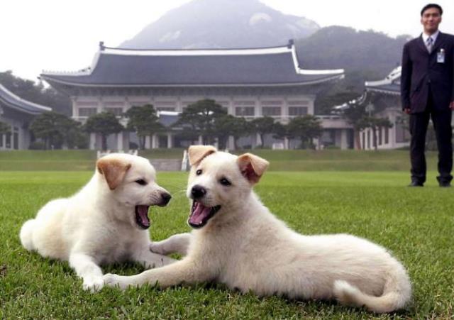 https: img.okezone.com content 2018 10 01 18 1957839 kim-jong-un-hadiahkan-sepasang-anjing-khas-korut-ke-presiden-korsel-bIEWCgh2b7.jpg