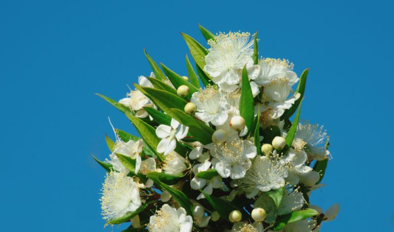 https: img.okezone.com content 2018 10 12 196 1962903 ikuti-tradisi-wajib-royal-wedding-putri-eugenie-akan-bawa-bunga-myrtus-zRe9tENXJ2.jpg