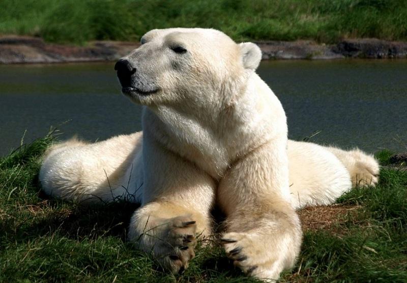56 Koleksi Gambar Binatang Beruang Kutub Terbaru