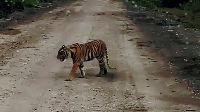 https: img.okezone.com content 2018 11 14 340 1977797 warga-heboh-ada-harimau-sumatera-tersesat-di-ruko-hJyVHjrYMb.jpg