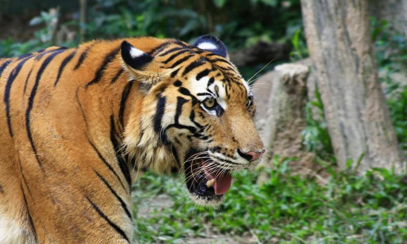 https: img.okezone.com content 2018 11 15 340 1978435 penembak-bius-dikerahkan-untuk-tangani-harimau-yang-tersesat-di-ruko-vW7tDJkA0Q.jpg