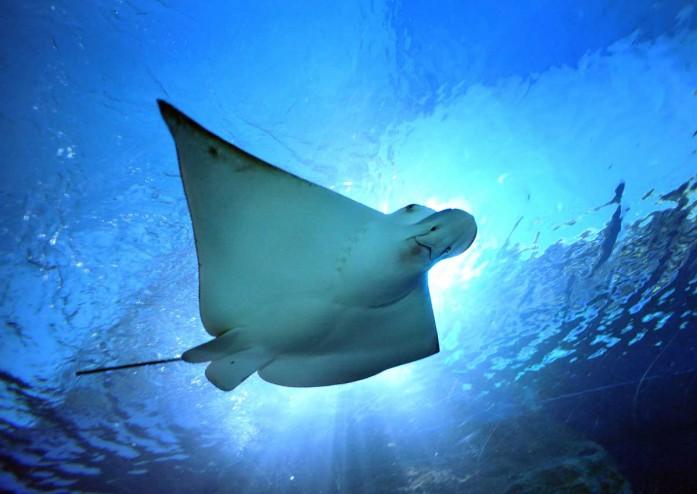 Pria Australia Tewas Karena Sengatan Ikan Pari Di Tasmania Okezone News