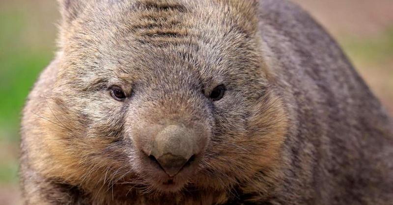 https: img.okezone.com content 2018 11 19 56 1979910 bagaimana-wombat-memproduksi-kotoran-berbentuk-kubus-9r06VuQoXk.jpg