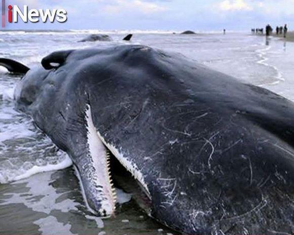 https: img.okezone.com content 2018 11 20 340 1980371 5-9-kg-sampah-ditemukan-di-perut-paus-yang-ditemukan-mati-di-perairan-wakatobi-JQ7285ioJi.JPG