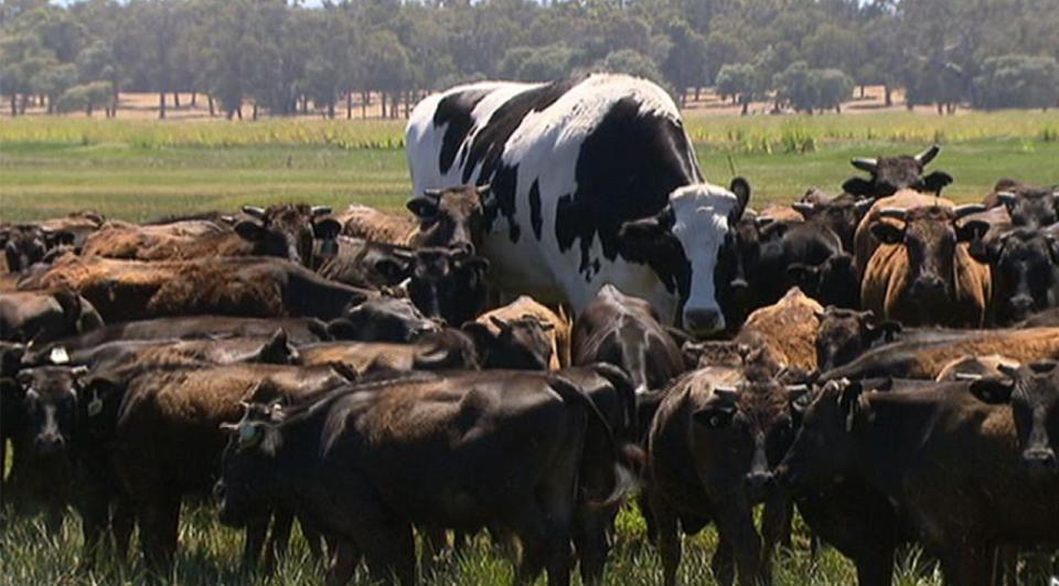 https: img.okezone.com content 2018 11 29 298 1984479 sapi-terbesar-gagal-disembelih-karena-tak-cukup-masuk-mesin-pemotong-imkCLWx2kF.jpg