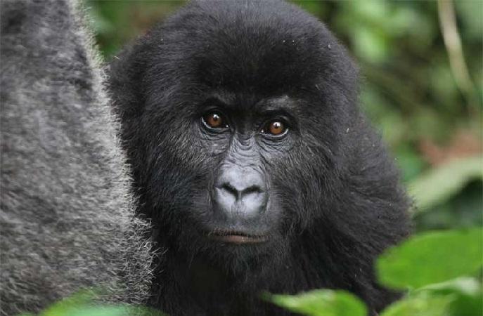 https: img.okezone.com content 2018 12 07 56 1988007 daur-ulang-ponsel-selamatkan-populasi-gorila-benarkah-UGmU7f03fR.jpg